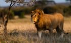A male lion in the Naboisho Conservancy.
