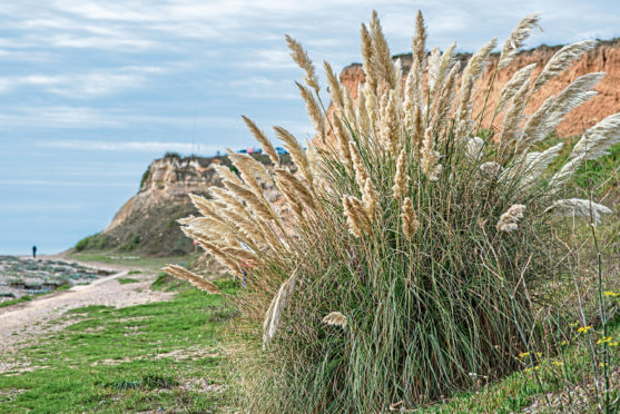Pampas bushes grow well in seaside conditions.