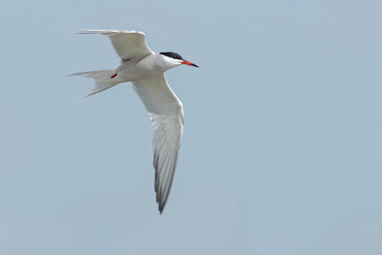 Arctic terns have been known to travel 60,000 miles