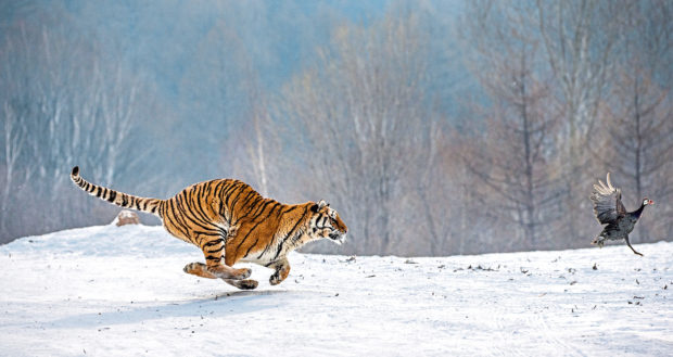 A Siberian tiger races after its prey but the species is elusive, roaming across large areas of                         mountains and forests in the Russian taiga, which makes immunisation particularly difficult.