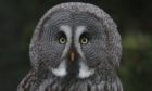 A tawny owl at at Bird Gardens Scotland, a sanctuary near Lauder in the Borders