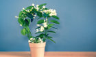 The heat-loving stephanotis fills homes with its intoxicating perfume