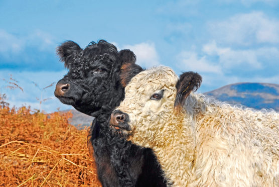 Galloway cattle.