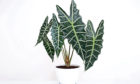 Bigger plants like the alocasia amazonica sanderiana, with its arrow-shaped leaves, will fill empty rooms