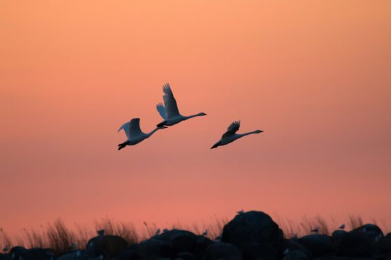 A flock of Bewick's swans at sunset