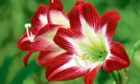 Missing the decorations? Amaryllis flowers bring light and colour back to homes