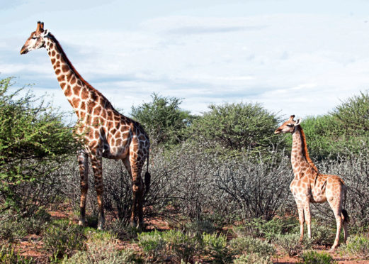 Dwarf giraffe Nigel, right, alongside an adult male on the Namibian plain