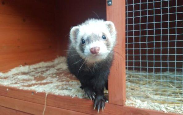 MacTavish the ferret.