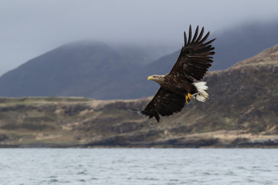 The white-tailed eagle has been successfully reintroduced to Fife