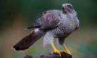 The goshawk has a fiercely expressive face as it scans the fields and trees for prey