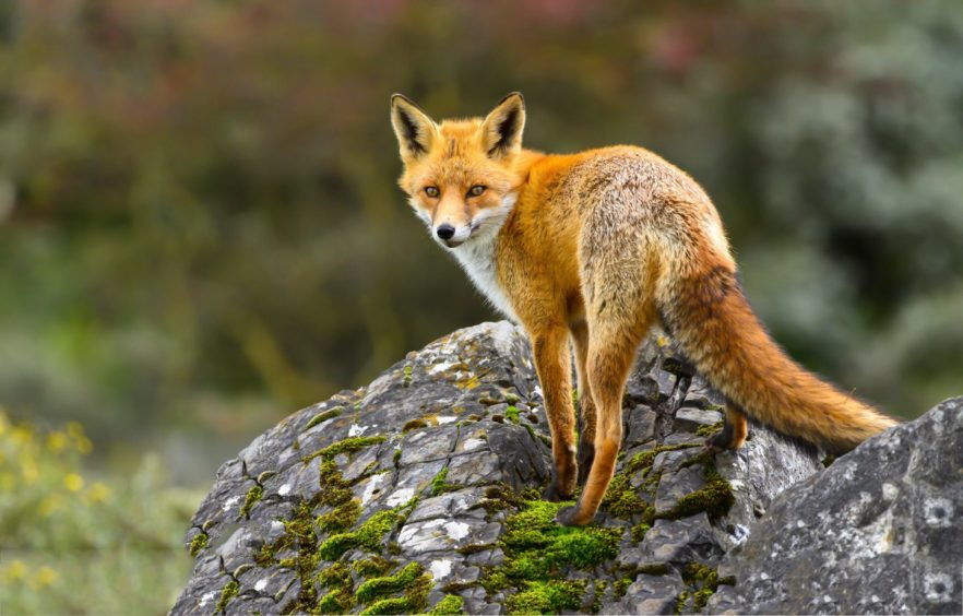 Foxes are extending their territories in towns and cities while the roads have been quieter