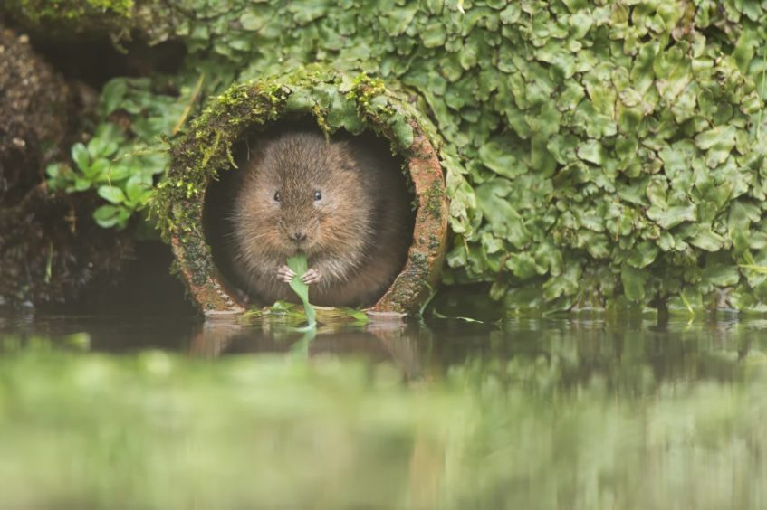 Water voles, one of our most threatened native mammals, are at risk from mink while control measures are hampered by lockdown, and their habitat is also being damaged by fly-tipping