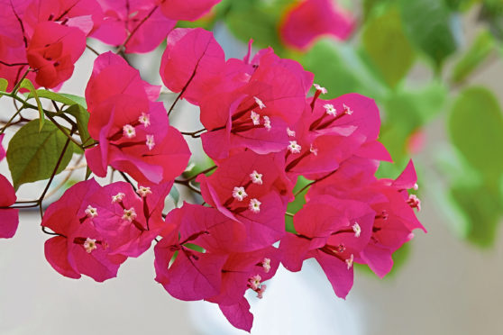 Red bougainvillea flower with tiny white flower inside in full blossom.