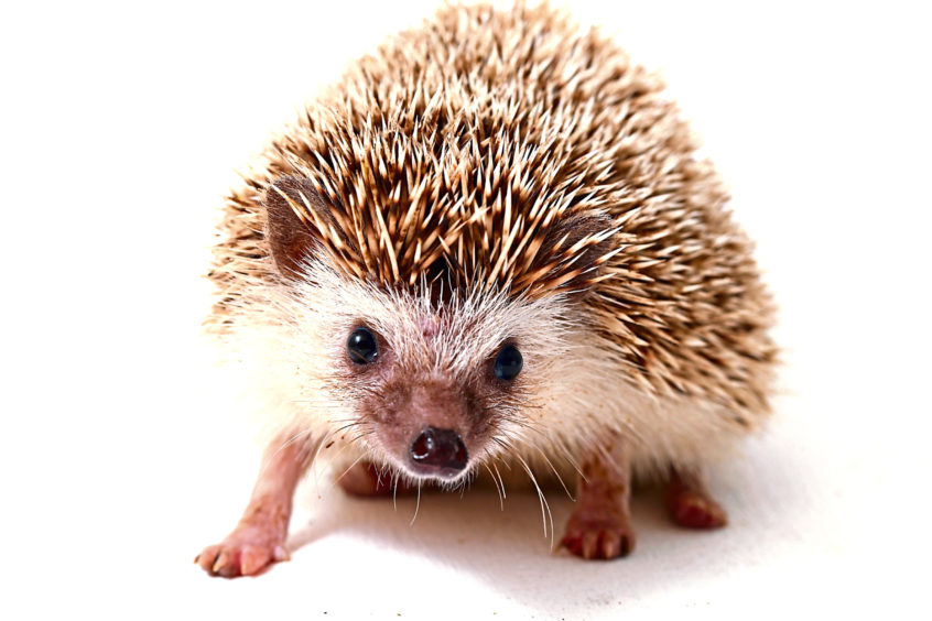 Hedgehogs are less likely to be run over and killed, and are also benefiting from nature-lovers putting out food in their gardens