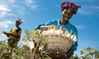 Fairtrade-supported farmer Mamouna Keita gathers crops in Batimaka, a village in the cotton-growing region of Kita, Mali