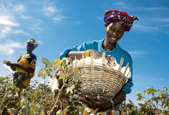 Fairtrade-supported farmer Mamouna Keita gathers crops in Batimaka, a village in the cotton-growing region of Kita, Mali