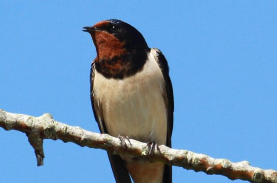 Swallows are enjoying a double benefit as they feed on insects and can more easily attract mates in a quieter environment