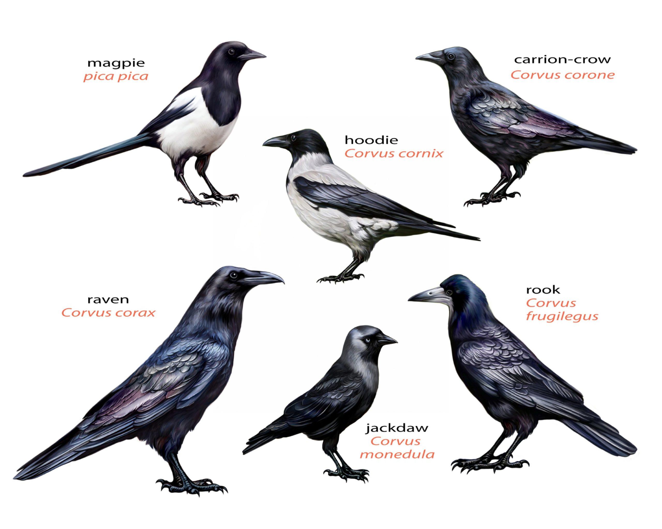The corvid family