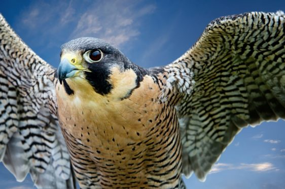 The speed of the peregrine makes its encounter with the massive sea eagle captivating