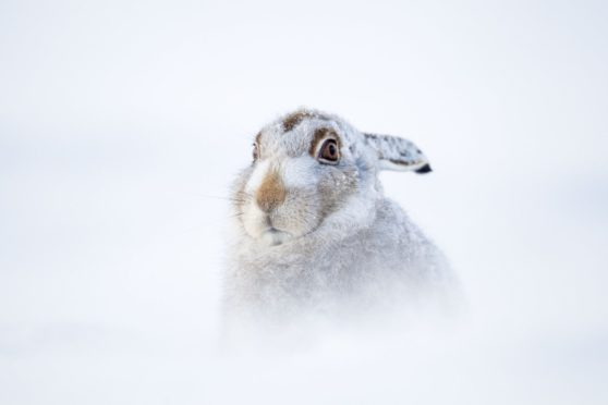 Scottish mountain hares are under threat due to warmer winters and less snow.