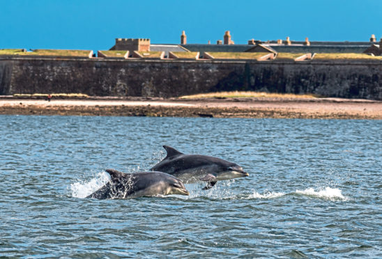 Dolphins at Fort George near Inverness.
