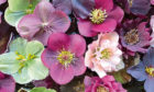 Beautiful mixed hellebores are easily grown and add a welcome splash of colour to any corner of the garden