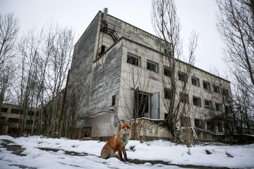 A wild fox in the ghost city of Pripyat, near Chernobyl