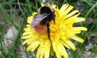 Blaeberry Queen Bee.