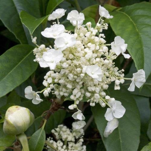 Hydrangea seemannii.