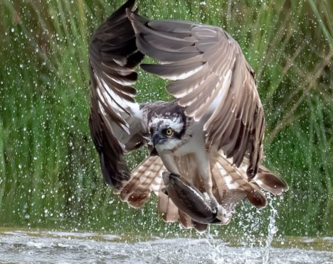 An osprey seizes its prey from a trout pond in Aviemore.