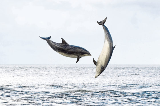 Dolphins jump in the Firth of Clyde.