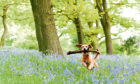 Even dogs like to stroll through a woodland carpeted with bluebells, while blooms of lily-of-the-valley show that spring is really in the air now