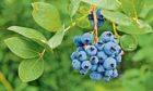 Blueberries are pretty easy to grow and they are delicious, too