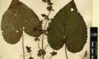 The preserved specimen of Salvia clementiae.