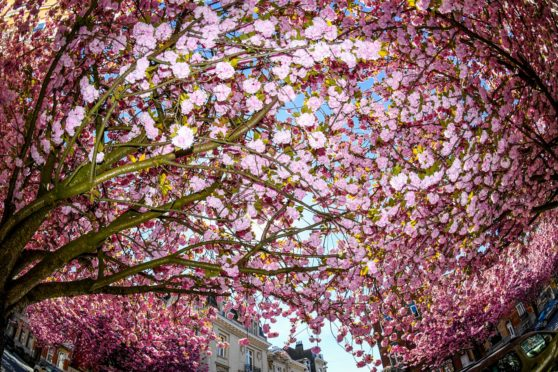 A Japanese cherry blossom tree in bloom in Brussels