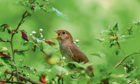 The Nightingale is just decades away from extinction say experts.