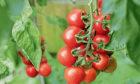 Truss of ripe Alicante tomatoes on the vine in a garden greenhouse.