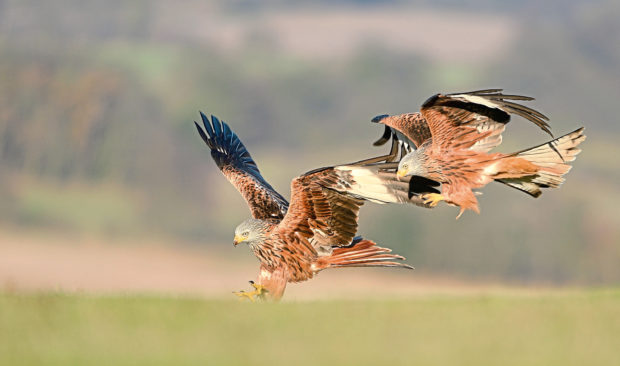 A pair of red kites swoop in to feed on the ground