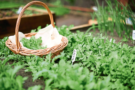 Freshly picked Rocket harvest in a wicker basket by the small home crafted veggie patch.