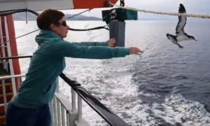 A Manx Shearwater is released from the deck of MV Lord of the Isles after being stranded in Mallaig