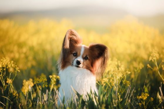 Papillon are Dundee's most pampered dogs.