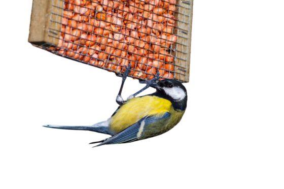 A blue tit feeds on peanuts from a garden bird feeder