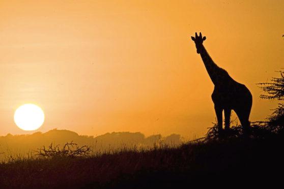 A giraffe basks in the sunset on the Kenyan plains.