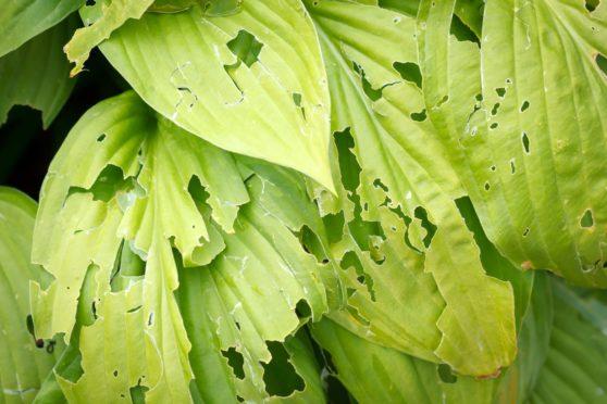 Garden leaves eaten by slugs