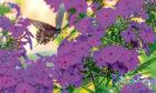 Black swallowtail butterfly perched on flowers of purple phlox in garden in summer.