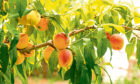 Peaches and grapes grow well in greenhouses.