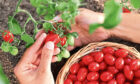Tomatoes are easy to grow in gardens and greenhouses.
