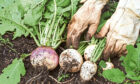 A fine harvest of turnips, perfect for adding to salads