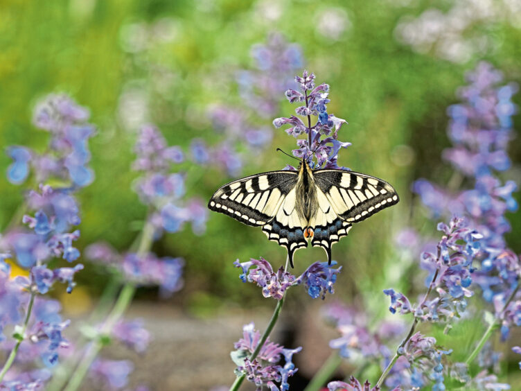 Bees and insects such as swallowtail butterflies love lavender