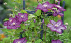 Pink clematis make a beautiful backdrop for any garden